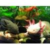 Аксолотль - уникальный аквариумный зверек.   Доставка по всей Украине