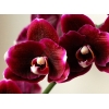 Куплю Орхидеи не цветущие в хорошем состоянии за 25 грн.