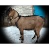 Племенной козёл нубийской породы,  чистокровный