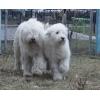 Собака-компаньон и охранник – южнорусская овчарка
