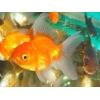 Золотые рыбки для аквариума с доставкой